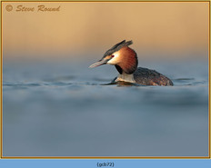 great-crested-grebe-72.jpg