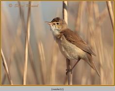 reed-warbler-12.jpg