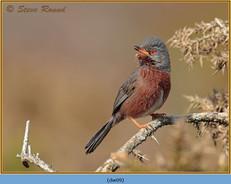 dartford-warbler-09.jpg