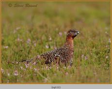 red-grouse-111.jpg