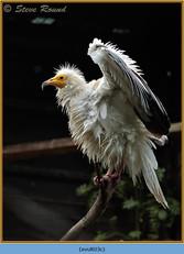 egyptian-vulture-03c.jpg