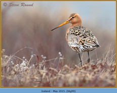 black-tailed-godwit- 99.jpg