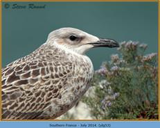yellow-legged-gull-53.jpg