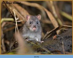brown-rat-24.jpg