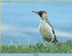green-woodpecker-26.jpg