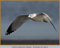 ring-billed-gull-11.jpg