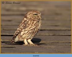 little-owl-18.jpg