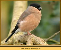 bullfinch-32.jpg