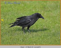 carrion-crow-07.jpg