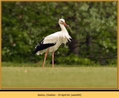 white-stork-04.jpg