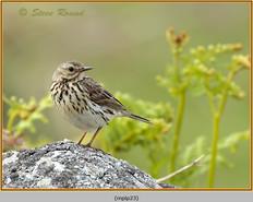 meadow-pipit-23.jpg