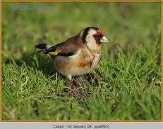 goldfinch-45.jpg
