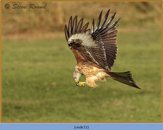 red-kite-72.jpg
