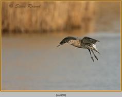 curlew-50.jpg