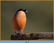 bullfinch-79.jpg