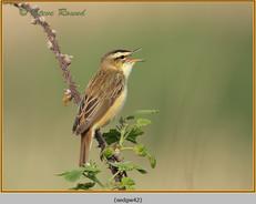 sedge-warbler-42.jpg