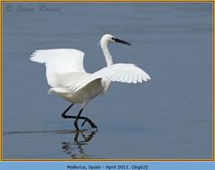 little-egret-62.jpg