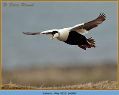 eider-duck- 86.jpg