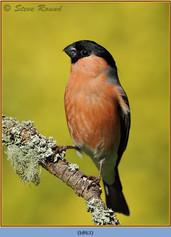 bullfinch-63.jpg