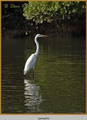 great-white-egret-26.jpg