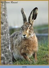 brown-hare-98.jpg