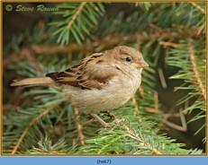 house-sparrow-67.jpg