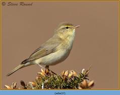 willow-warbler-37.jpg