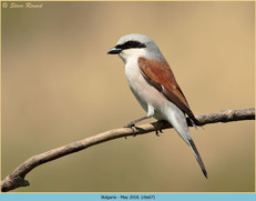 red-backed-shrike-07.jpg