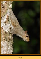 grey-squirrel-13.jpg
