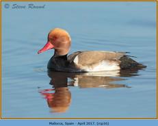 red-crested-pochard-16.jpg