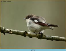 pied-flycatcher-56.jpg