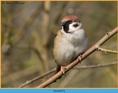 tree-sparrow-47.jpg
