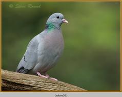 stock-dove-29.jpg