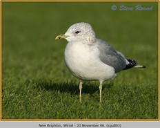 common-gull-03.jpg