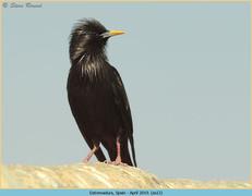 spotless-starling-12.jpg