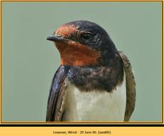 swallow-06.jpg