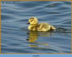 canada-goose-36.jpg