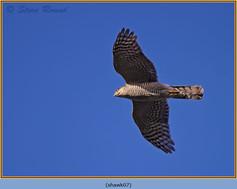 sparrowhawk-07.jpg