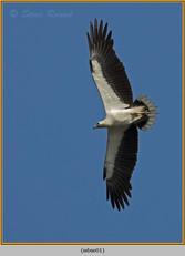 white-bellied-sea-eagle-01.jpg