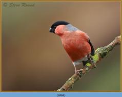 bullfinch-68.jpg