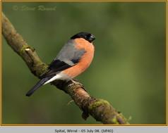 bullfinch-40.jpg