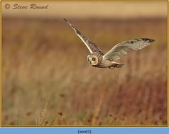short-eared-owl-65.jpg