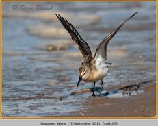 curlew-sandpiper-17.jpg