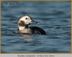 long-tailed-duck-11.jpg