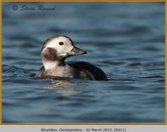long-tailed-duck-11.jpg
