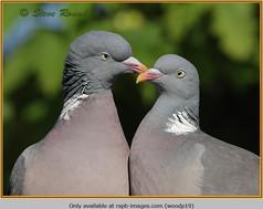 wood-pigeon-19.jpg