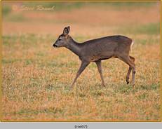 roe-deer-07.jpg