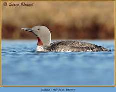 red-throated-diver- 79.jpg