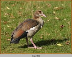 egyptian-goose-12.jpg