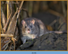 brown-rat-18.jpg